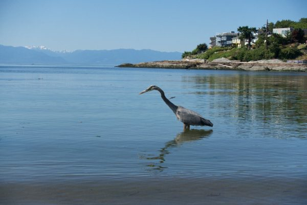 Heron standing in calm, shallow water with reflection